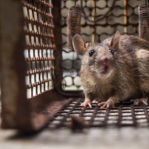 Rattenfalle Test Bzw Vergleich 2020 Auf Gartentipps Com