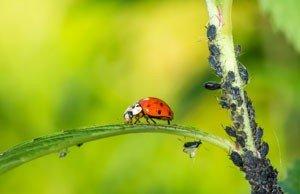 Blattläuse entfernen - 2 Hausmittel