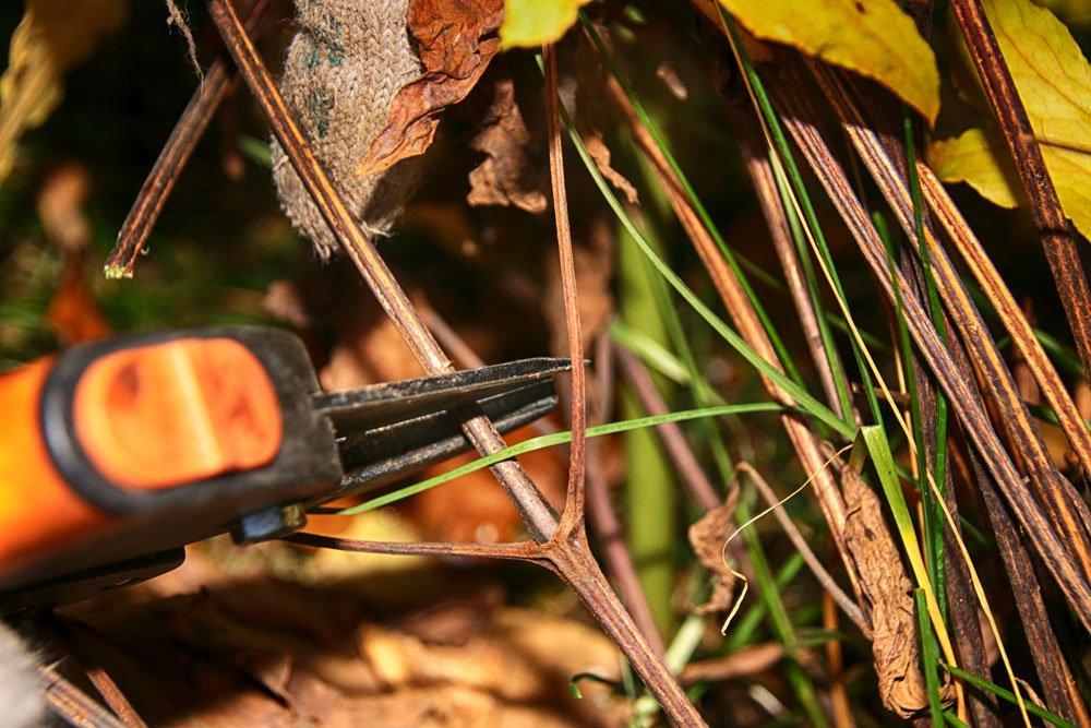 Clematis am Haupttrieb zurückschneiden - © argot - Fotolia.com