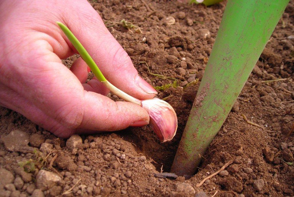 Ganz und zu Extrem Knoblauch pflanzen und ernten #XT_08