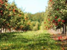 Obstbaum - Schädlinge