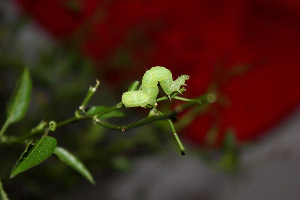 Obstbaum - Schädlinge: kleiner Frostspanner