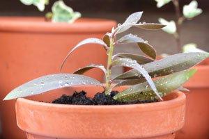 Stecklinge vermehren ... und dann in Blumenerde umsetzen