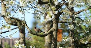 Kirschbaum vor vögel schützen