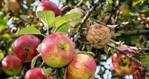 Äpfel haben faule Stellen