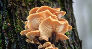Austernseitling züchten - Baumstumpf