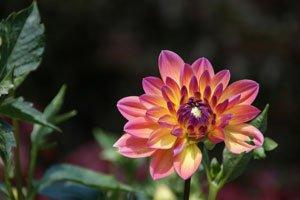 Dahlien dürfen in Sonnenschein-Beeten nicht fehlen