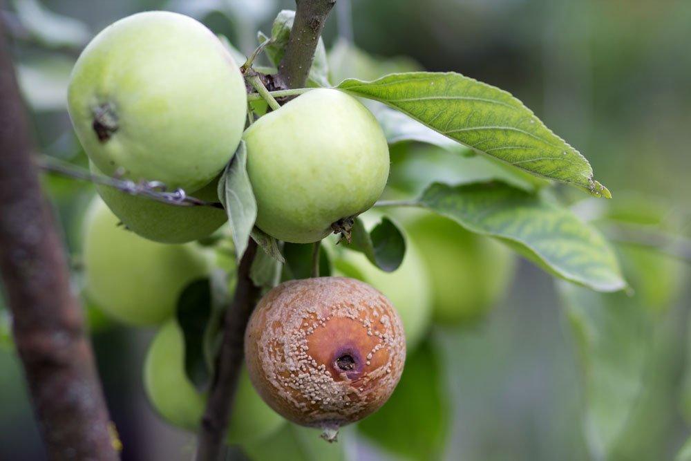 faule Äpfel am Baum