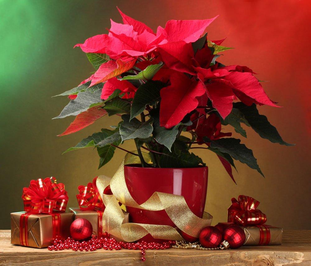 giftige Pflanzen - Weihnachtszeit