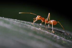 Ameisen können umgesiedelt werden