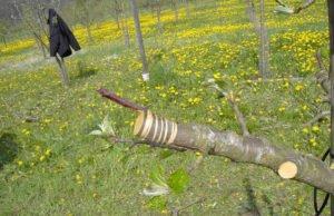 Pflanzenveredelung Obstbaum