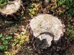 Baumstumpf verrotten