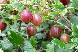 Beerensträucher müssen regelmäßig geschnitten werden
