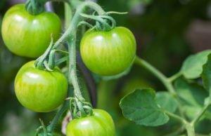grüne Tomaten nachreifen