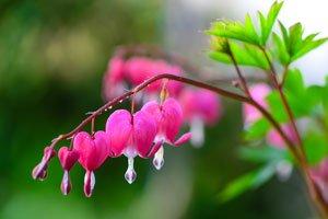 Tränendes Herz ist in vielen Gärten zu finden