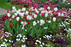 Tulpen Pflanzen Unsere Tipps
