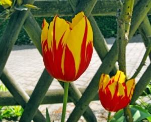 Schön? Da hilft nur eins: Tulpen pflanzen!