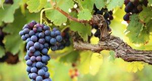 Weintrauben pflanzen