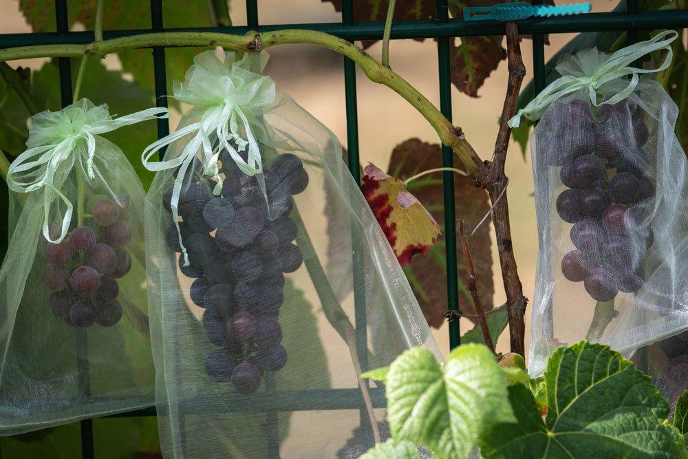 Weintrauben pflanzen - Schutz vor Wespen