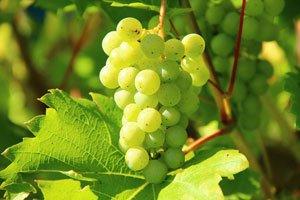 Dünnen Sie den Wein aus