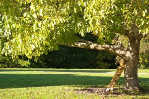 Bei jungen Bäumen immer die Baumscheibe frei halten