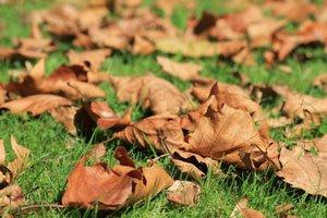 Herbstlaub können Sie als Kälteschutz verwenden