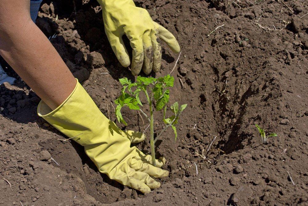 junge Tomatenpflanze