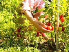 Tomaten pflanzen Tipps