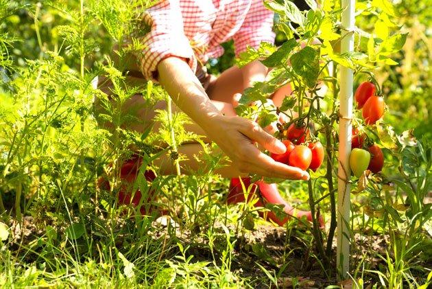 tomaten pflanzen von der pflege bis zur ernte. Black Bedroom Furniture Sets. Home Design Ideas