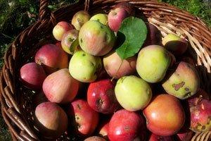 Apfelschorf ist eine Pilzerkrankung am Apfelbaum