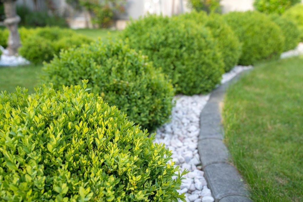 Buchsbaum gelbe Blätter