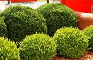 Buchsbaum vermehren Stecklinge