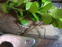 buchsbaum vermehren durch stecklingsvermehrung. Black Bedroom Furniture Sets. Home Design Ideas