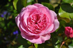 Die Blüten werden meist zu schwer und knicken ab