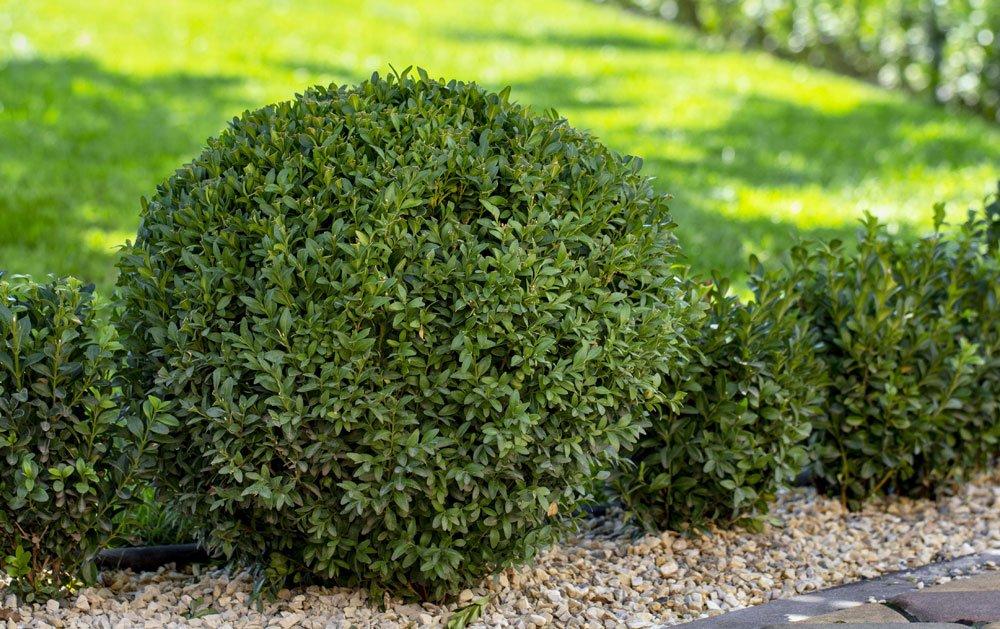 immergrüne Pflanzen Buchsbaum