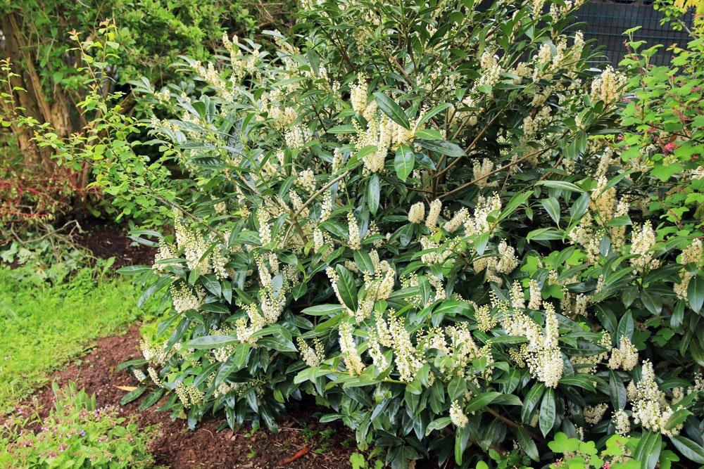 immergrüne Pflanzen Kirschlorbeer