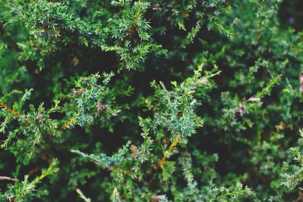 immergrüne Pflanzen Thuja