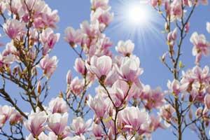 magnolien schneiden so geht s. Black Bedroom Furniture Sets. Home Design Ideas