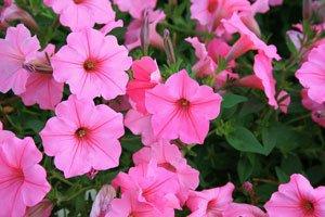 Petunien blühen den ganzen Sommer über