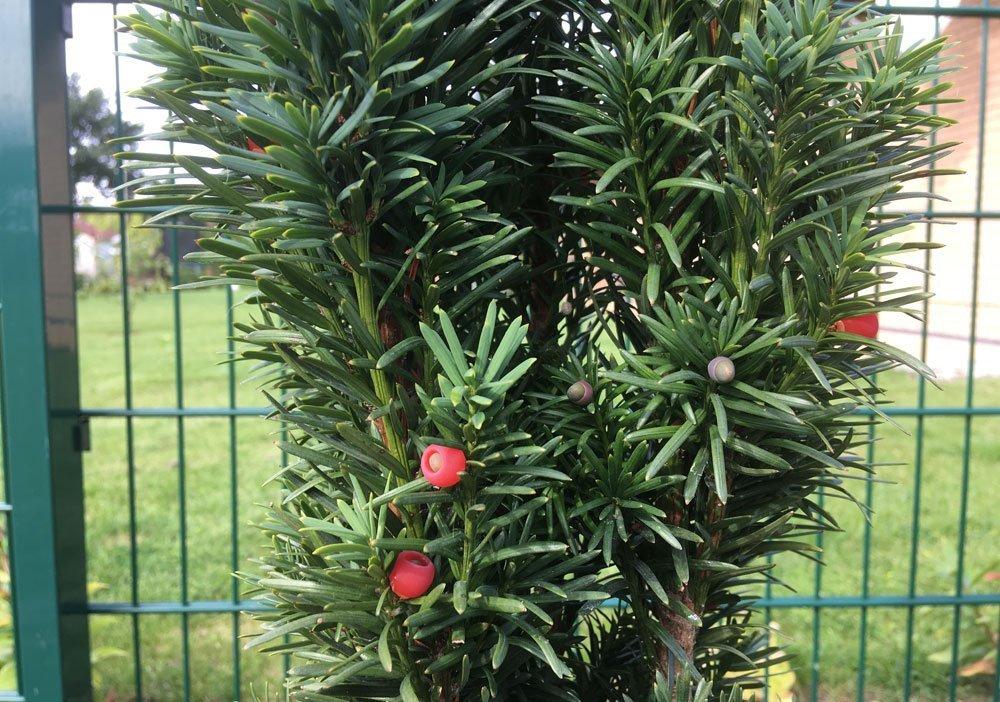 Gartenpflanzen Winterhart Immergrün immergrüne pflanzen – die 6 beliebtesten für ihren garten