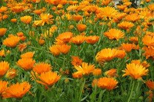 Ringelblumen säen sich selbst aus