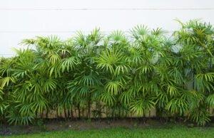 Wurzelsperre für Bambus