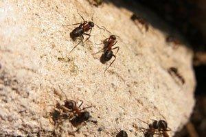 Ameisen sind sehr nützlich im Garten