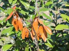 Kirschlorbeer braune Blätter
