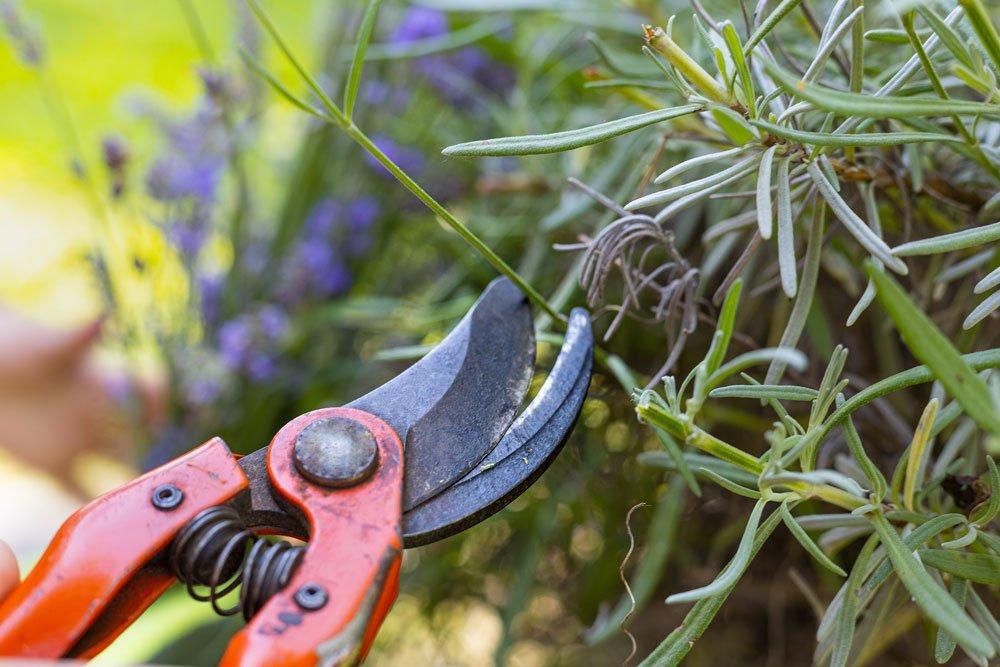 Lavendel richtig schneiden
