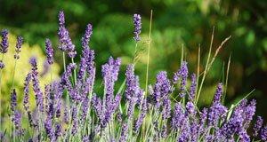 Lavendel Wann Schneiden : meine lavendel schneiden wann tipps f r deinen garten ~ Lizthompson.info Haus und Dekorationen