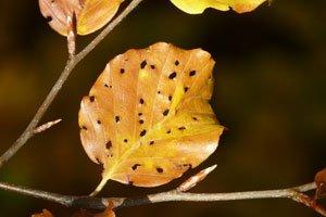 Frostspanner fressen im Frühjahr die Blätter kahl