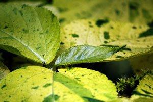 Helle Blätter deuten auf einen Stickstoffmangel hin