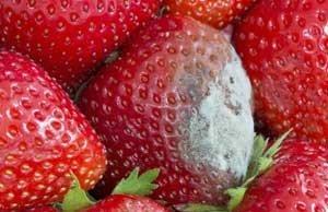 Schimmel auf Erdbeeren