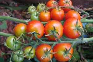 Tomatensträucher sollten nicht buschig wachsen